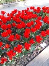 Tulipe-Mania (1)