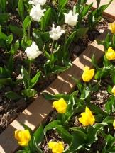 Tulipe-Mania (100)