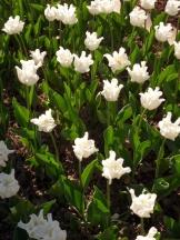 Tulipe-Mania (101)