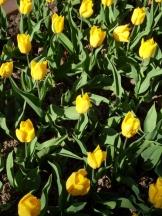Tulipe-Mania (102)