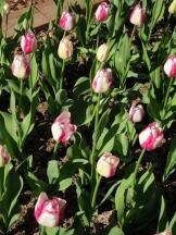 Tulipe-Mania (103)