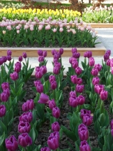Tulipe-Mania (109)