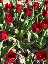 Tulipe-Mania (111)