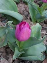 Tulipe-Mania (116)