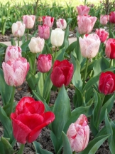 Tulipe-Mania (118)