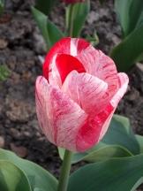 Tulipe-Mania (123)