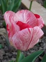 Tulipe-Mania (126)