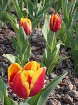 Tulipe-Mania (128)
