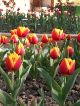 Tulipe-Mania (129)