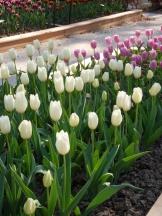Tulipe-Mania (135)
