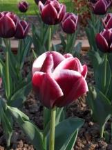 Tulipe-Mania (139)