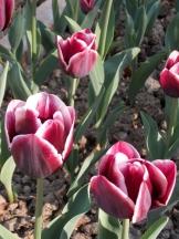 Tulipe-Mania (140)