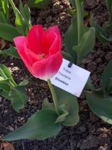 Tulipe-Mania (143)