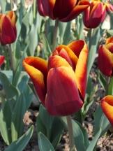 Tulipe-Mania (147)