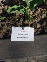 Tulipe-Mania (153)