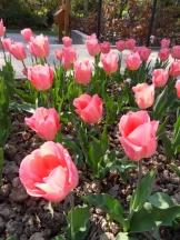 Tulipe-Mania (154)