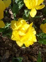 Tulipe-Mania (157)