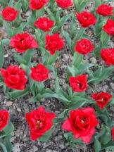 Tulipe-Mania (159)