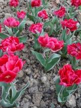 Tulipe-Mania (164)