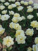 Tulipe-Mania (174)