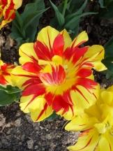Tulipe-Mania (177)