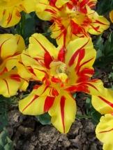 Tulipe-Mania (179)