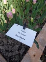 Tulipe-Mania (18)