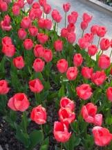 Tulipe-Mania (181)