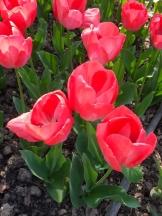 Tulipe-Mania (182)