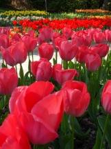 Tulipe-Mania (183)
