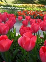 Tulipe-Mania (184)