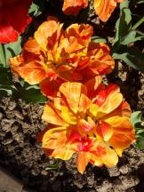 Tulipe-Mania (186)