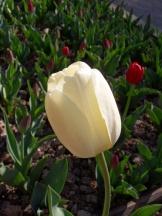 Tulipe-Mania (188)