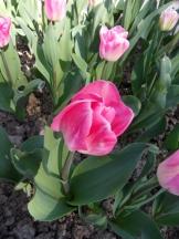 Tulipe-Mania (19)