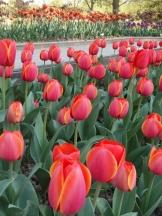 Tulipe-Mania (191)