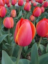 Tulipe-Mania (192)