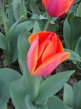 Tulipe-Mania (193)