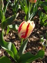Tulipe-Mania (206)