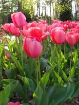 Tulipe-Mania (208)