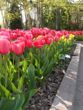 Tulipe-Mania (209)