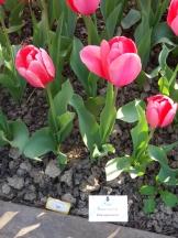 Tulipe-Mania (210)