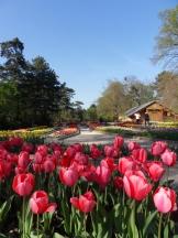 Tulipe-Mania (214)