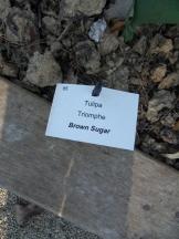 Tulipe-Mania (217)
