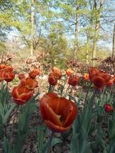 Tulipe-Mania (218)