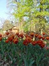 Tulipe-Mania (219)