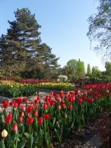 Tulipe-Mania (229)