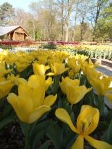 Tulipe-Mania (232)