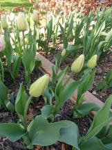 Tulipe-Mania (26)