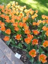 Tulipe-Mania (3)