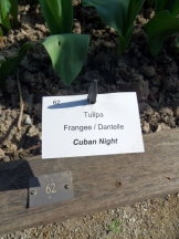 Tulipe-Mania (34)
